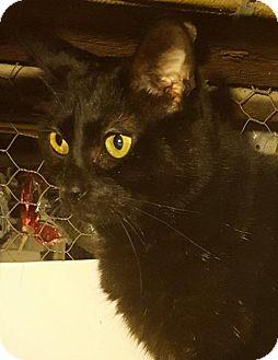 Domestic Shorthair Cat for adoption in New Bedford, Massachusetts - Luke