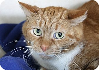 Domestic Shorthair Cat for adoption in Chicago, Illinois - Usher