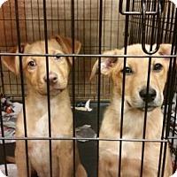 Adopt A Pet :: Puppies - Golden Retriever mix - Pembroke, GA