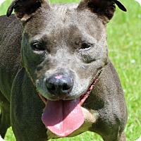 American Pit Bull Terrier Mix Dog for adoption in Newport, North Carolina - Shelby
