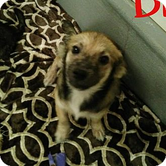Chihuahua/Shepherd (Unknown Type) Mix Dog for adoption in Lemoore, California - Dickson