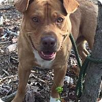Adopt A Pet :: Rocky - Allentown, PA