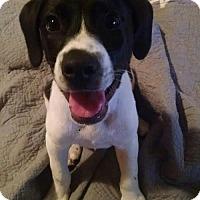 Pointer/Labrador Retriever Mix Puppy for adoption in Allentown, Pennsylvania - Floki (JS)