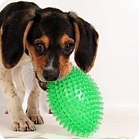 Adopt A Pet :: Paisley Beagle - St. Louis, MO