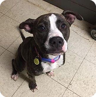 Terrier (Unknown Type, Medium)/American Pit Bull Terrier Mix Dog for adoption in Fulton, Missouri - Licorice- Ohio