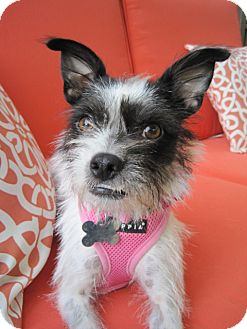 Wirehaired Fox Terrier Mix Dog for adoption in Alpharetta, Georgia - Mitzy