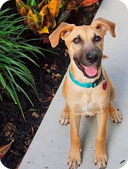 Shepherd (Unknown Type) Mix Dog for adoption in Houston, Texas - Cal