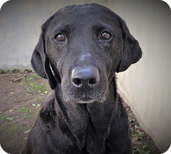 Labrador Retriever Mix Dog for adoption in Fredericksburg, Texas - Bella