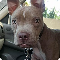 Boston Terrier/American Staffordshire Terrier Mix Puppy for adoption in Dana Point, California - Ducky