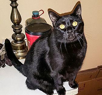 Domestic Shorthair Cat for adoption in White Settlement, Texas - Macy's Spunky