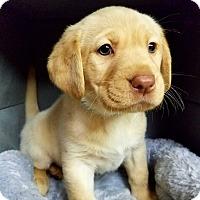 Adopt A Pet :: Lemonade's Cherrish - Alexandria, VA