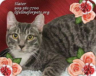 Domestic Shorthair Cat for adoption in Monrovia, California - SLATER