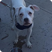 Adopt A Pet :: Simon - East Stroudsburg, PA