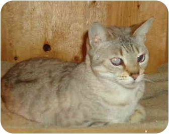 Bengal Cat for adoption in Elmira, Ontario - Pandora