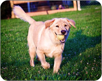 Golden Retriever/Chow Chow Mix Dog for adoption in Owensboro, Kentucky - Lilly