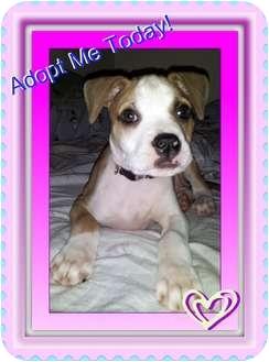 American Bulldog Puppy for adoption in Lakeland, Florida - Adrian