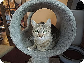 Domestic Shorthair Cat for adoption in House Springs, Missouri - Kailani