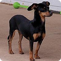 Adopt A Pet :: Vivian - San Angelo, TX
