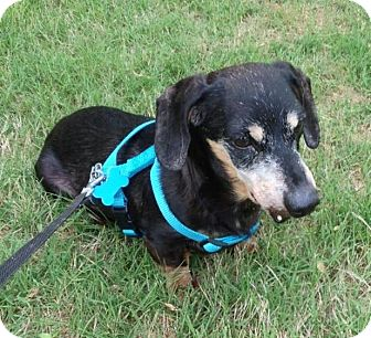 Dachshund Dog for adoption in Decatur, Georgia - Cowboy