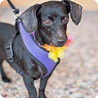 Adopt A Pet :: Sophie - Kingwood, TX