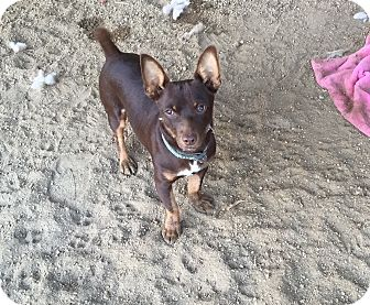 Dachshund/Miniature Pinscher Mix Puppy for adoption in Nuevo, California - Snickers