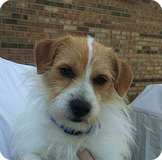 maltese jack russell terrier mix george adopted dog cincinnati oh jack russell 214