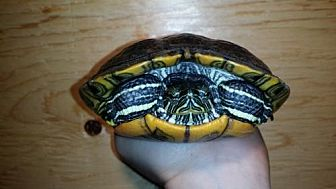 Turtle - Other for adoption in Pefferlaw, Ontario - Mikey