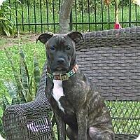 Adopt A Pet :: Bear - Houston, TX