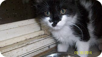 Domestic Longhair Kitten for adoption in Morriston, Florida - Muffin