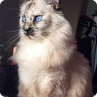 Adopt A Pet :: Honey Bunz - Cerritos, CA