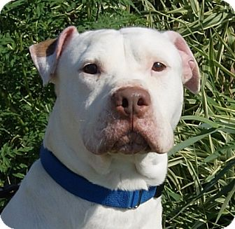 American Bulldog/Shar Pei Mix Dog for adoption in Monroe, Michigan - Ike