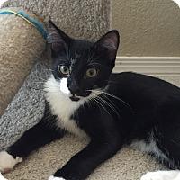 Adopt A Pet :: Slash - Chandler, AZ