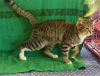 Domestic Shorthair Cat for adoption in Houston, Texas - Billy