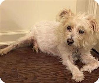 Westie, West Highland White Terrier Mix Dog for adoption in Alpharetta, Georgia - Sahara