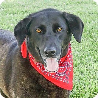 Labrador Retriever Mix Dog for adoption in Columbia, Illinois - Abner