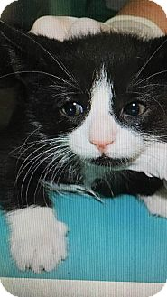 Domestic Shorthair Kitten for adoption in Palisades Park, New Jersey - Panda