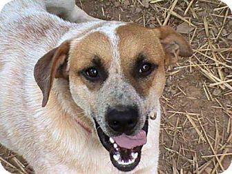 Australian Cattle Dog/Hound (Unknown Type) Mix Dog for adoption in Trenton, New Jersey - Buster Evans