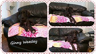 Great Dane Puppy for adoption in DOVER, Ohio - Ginny Weasley