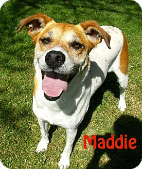 Terrier (Unknown Type, Medium)/Greyhound Mix Dog for adoption in El Cajon, California - Maddie