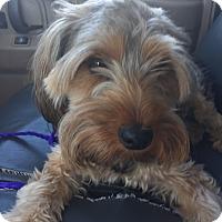 Adopt A Pet :: Doodle - Las Vegas, NV