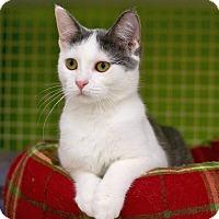 Domestic Shorthair Kitten for adoption in Troy, Michigan - Jo