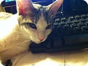 Oriental Kitten for adoption in Cerritos, California - Jaedyn