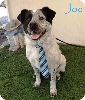 Dalmatian/Cattle Dog Mix Dog for adoption in San Diego, California - Joe