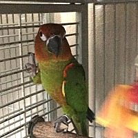 Conure for adoption in Punta Gorda, Florida - Remi
