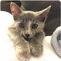 Domestic Shorthair Kitten for adoption in Atlanta, Georgia - Olive     161804
