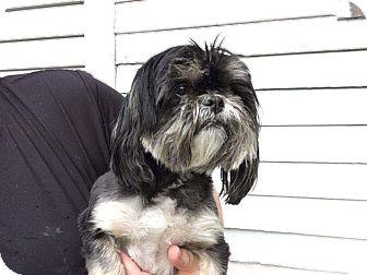 Shih Tzu Dog for adoption in Sheridan, Oregon - Trixie
