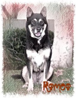 Husky/German Shepherd Dog Mix Dog for adoption in Los Angeles, California - ROMEO