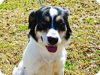 Border Collie/Spaniel (Unknown Type) Mix Dog for adoption in Charlemont, Massachusetts - Muffin