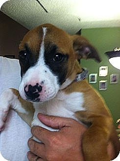 Terrier (Unknown Type, Medium)/Labrador Retriever Mix Puppy for adoption in Blanchard, Oklahoma - Shelby