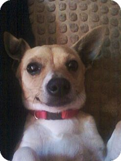 Jack Russell Terrier/Chihuahua Mix Dog for adoption in Knoxville, Tennessee - Oscar